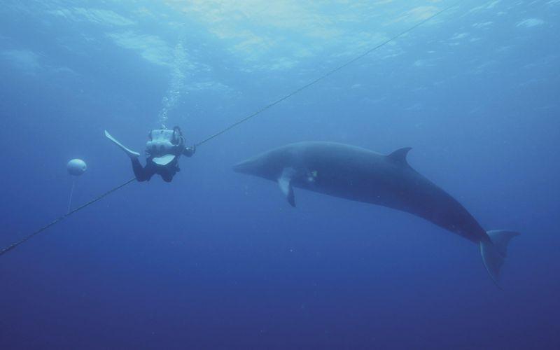Dwarf Minke Whale watching